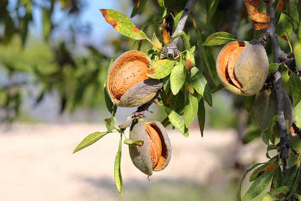 Almond tree Surprising Pics of Food Before It is Harvested