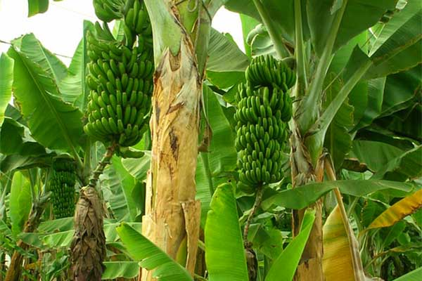 Banana tree Surprising Pics of Food Before It is Harvested
