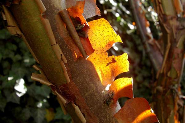 Cinnamon tree Surprising Pics of Food Before It is Harvested