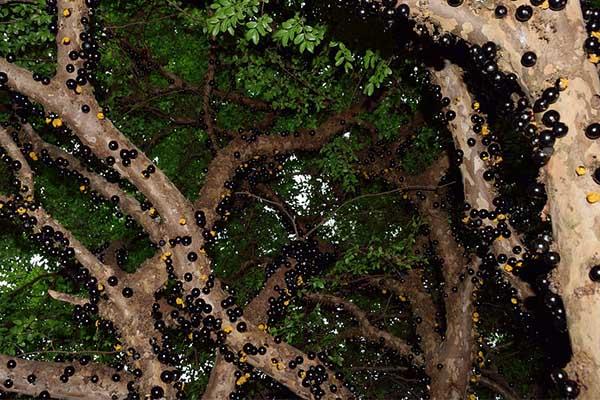 Jabuticaba tree Surprising Pics of Food Before It is Harvested
