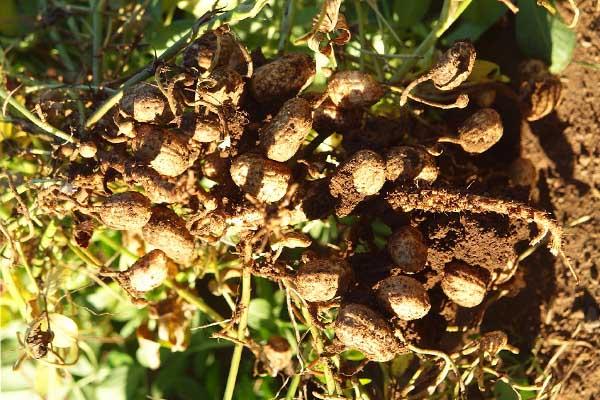 Peanut tree Surprising Pics of Food Before It is Harvested