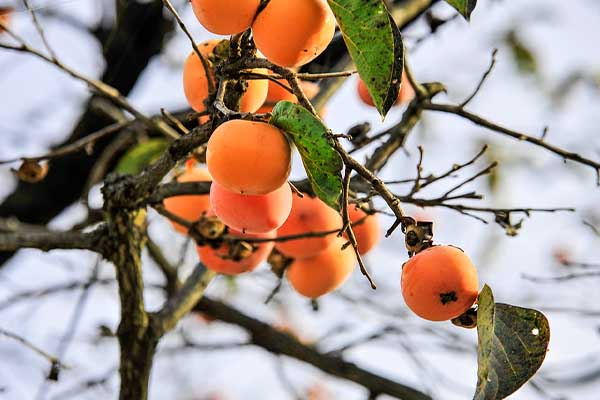 Persimmon tree Surprising Pics of Food Before It is Harvested