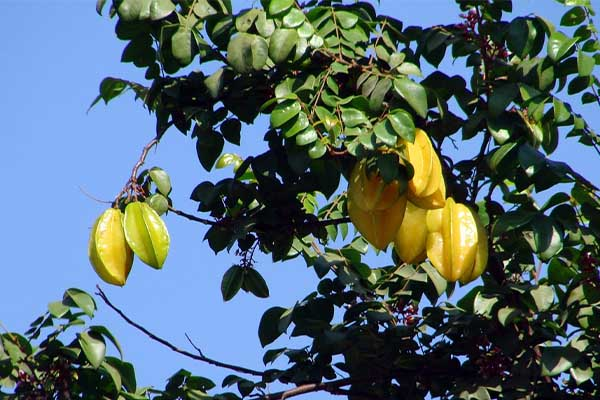 Starfruit tree Surprising Pics of Food Before It is Harvested