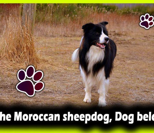 The Moroccan sheepdog, Dog beldi