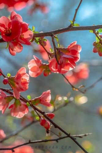 bill quince blossom